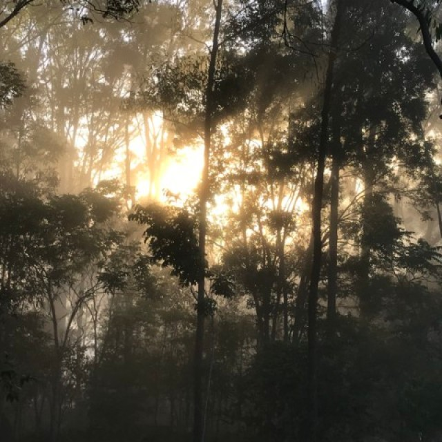 Foggy day in eucalyptus forest